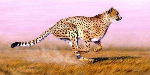 heavy cheetah